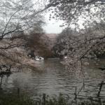 スワンボート桜