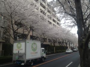 雲のようにたなびく桜