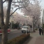 すごい桜並木