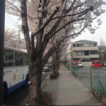 片側桜並木