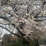 上水桜アップ