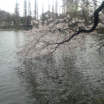 もの寂びし桜