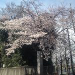 八幡桜近影