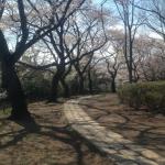 ローマの桜