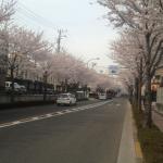 桜並木続く