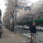 サミット前の桜
