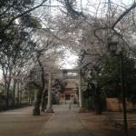 三鷹八幡宮桜