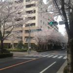 遠くまで桜、桜