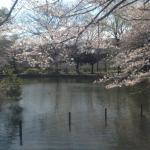 池をくるりと桜