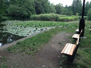下の池スイレンとベンチ