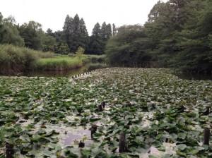 下の池のスイレン絨毯
