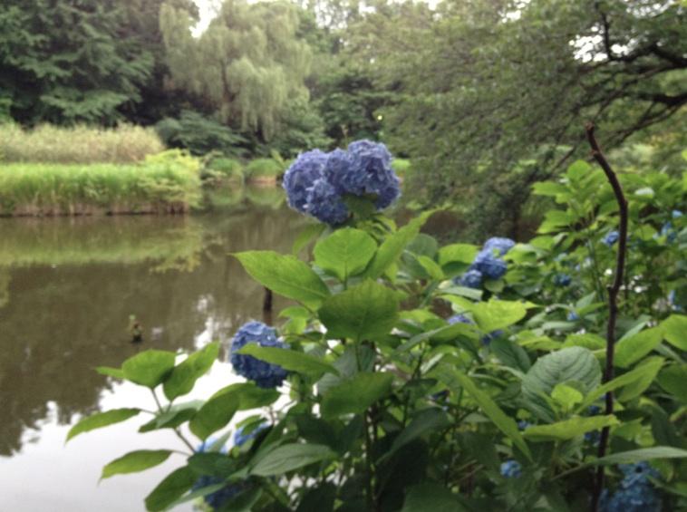 下の池のアジサイ
