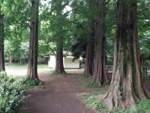 善福寺公園 メタセコイア