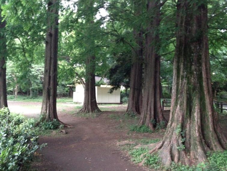 善福寺公園のメタセコイア チュロスの林