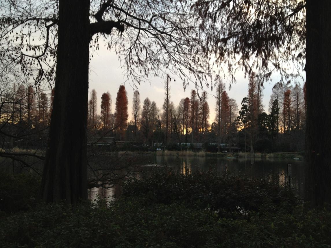 井の頭公園 冬のメタセコイア