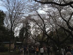 桜の大映し