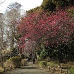 善福寺の紅梅