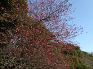 善福寺公園 美事の紅梅