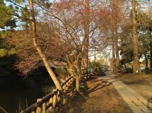 三宝寺池 紅梅