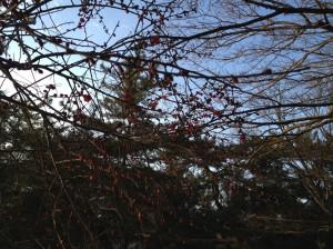 三宝寺池梅 一分咲き