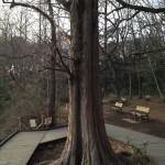 石神井公園のメタセコイアの老木