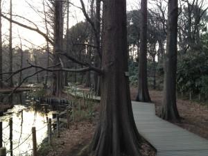 石神井公園の端正なメタセコイア