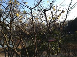 善福寺公園ロウバイ