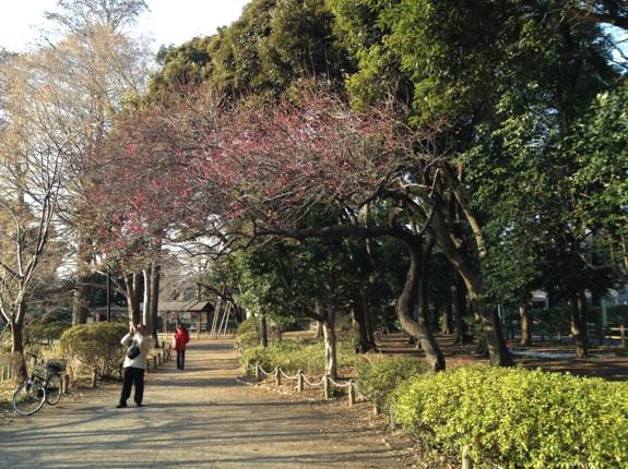 2014年梅の開花@善福寺公園