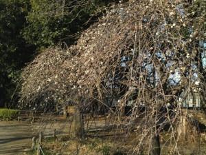 また別の枝垂れ梅