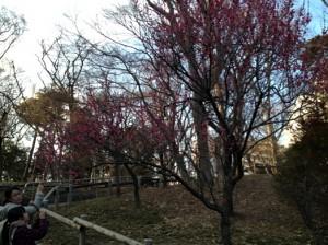 梅階段の紅梅です