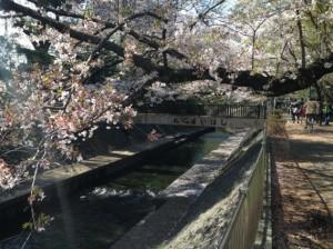 御供米橋と桜