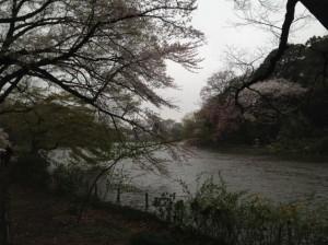 荒れる上の池と桜