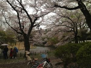 下の池散り際の桜
