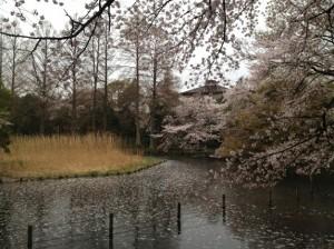水面にも花びらがギッシリ
