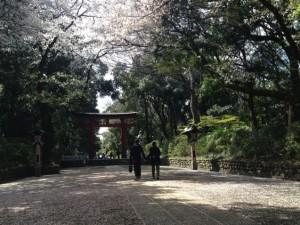 大宮八幡宮境内桜
