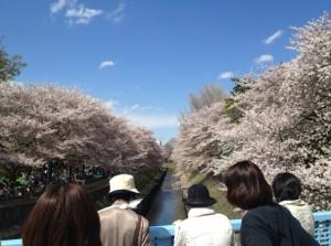 善福寺川緑地公園尾崎橋から桜