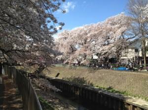 まるで桜の瀑布です