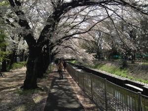 善福寺川桜のアーチ
