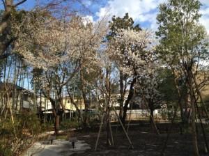吉祥寺の杜の桜