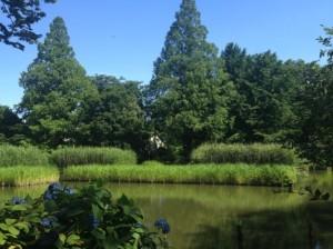 下の池のアシ・紫陽花