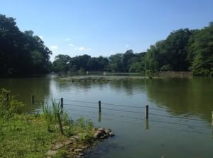 上の池の睡蓮群生