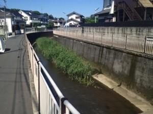 善福寺川のアシ