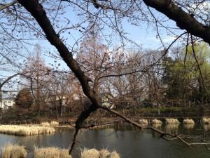 桜(3月24日頃)
