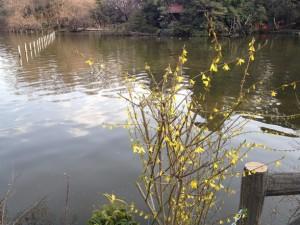 上の池のレンギョウ