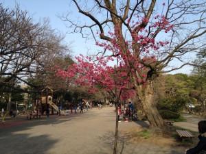 寒緋桜は目立ちますね