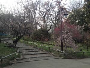 井の頭公園の梅階段(見頃終了)