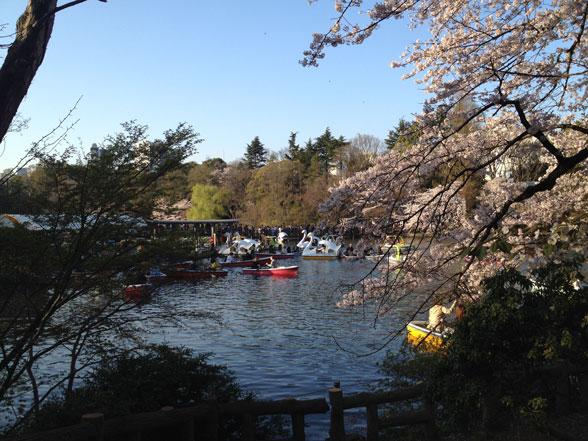 2015桜の満開@井の頭公園