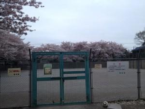 善福寺公園 子供広場の桜