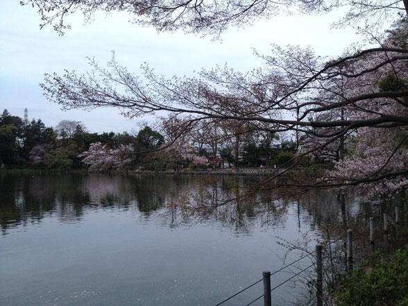 上の池 水面と平行に伸びる元気な桜