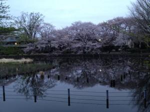 夕刻、幻想的な桜